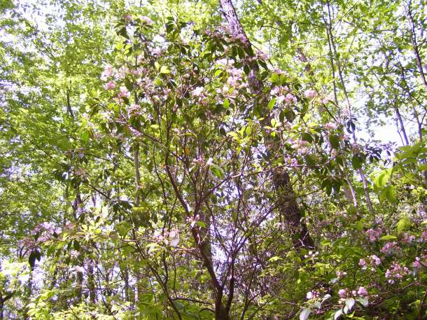 Laurel tree in bloom
