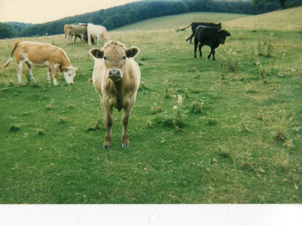 Cows in field in the Great Malverns