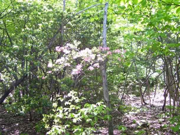 The wild azalea