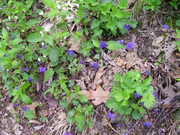 The retiring wood violet