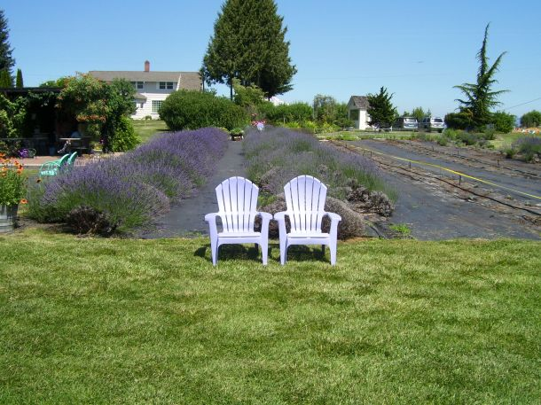 Lavendar Adirondack chairs at the lavendar farm