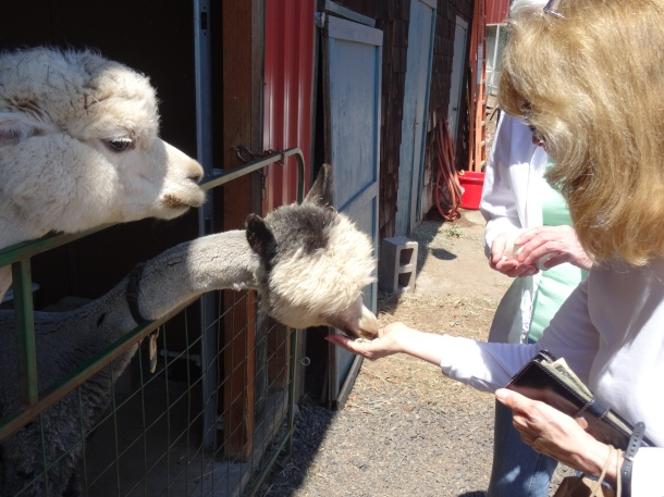 Hand-feeding the alpacas - what a kick